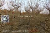 四川红花紫薇花瓶造型