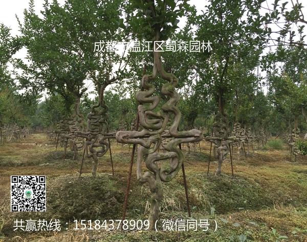 四川红花紫薇(福、禄、寿、喜)艺术字体造型