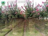 红花紫薇花瓶造型
