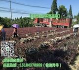 红花继木工程苗展示