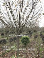 四川高杆樱花