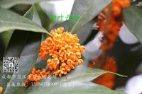 四川高杆桂花不同品种桂花花朵欣赏