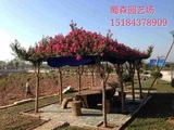 四川红花紫薇艺术造型