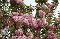 四川高杆樱花-四川高杆樱花基地-四川高杆樱花价格