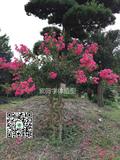 四川紫薇造型